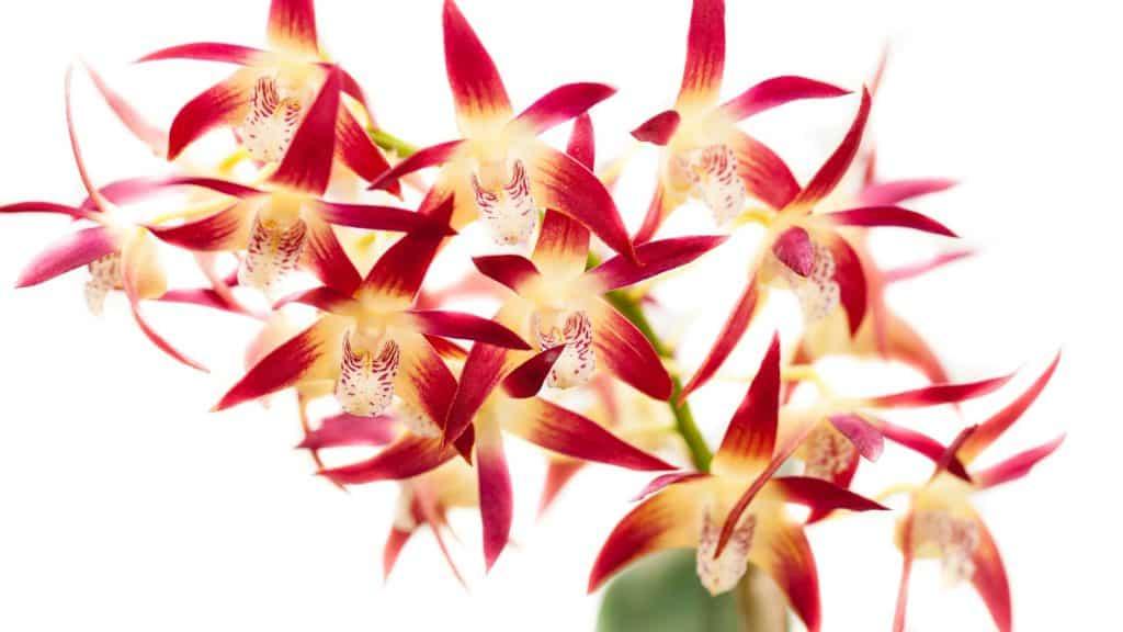 Dendrobium Orchids care