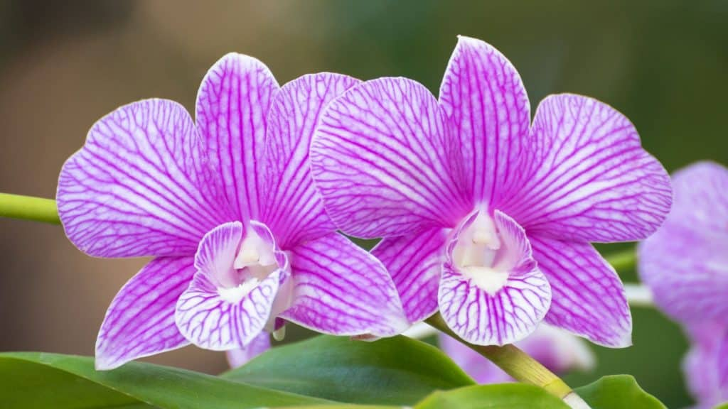 How do i look after my dendrobium orchid?