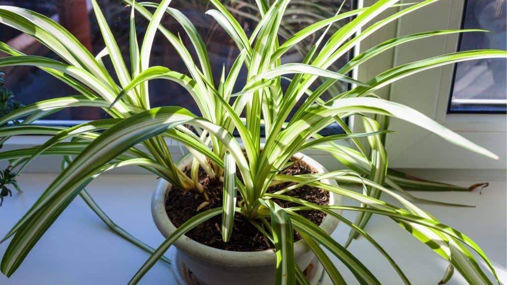 spider plant (Chlorophytumcomosum)