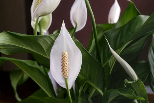white peace lily with dark green foiliages