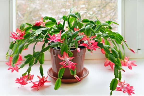 most colorful indoor plant