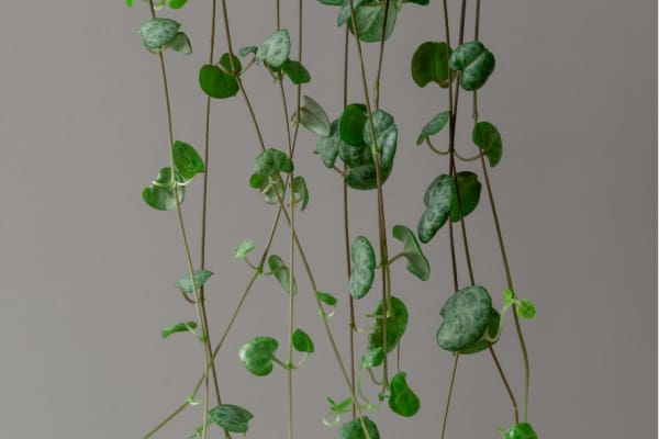 How do you propagate a String of Hearts