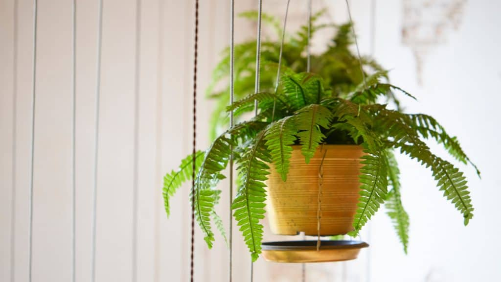 Boston Fern: Best for Dry Skin and Dry Nose Bedroom Plants