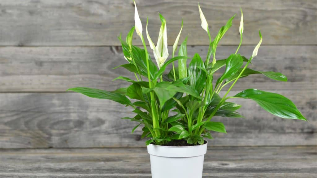 Peace Lily (Spathiphyllum species): Humidity Enhancer