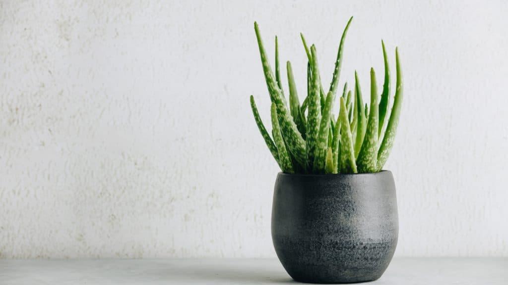 Aloe Vera: Best Air Quality Filtering Bedroom Plants