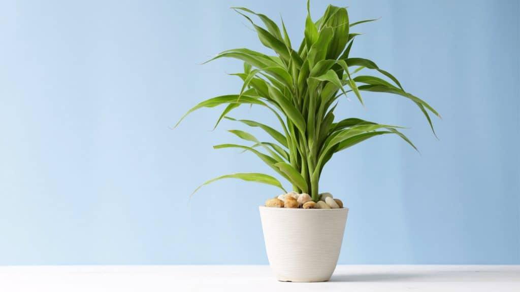 Dracaena: Smoke Particle Sucker Bedroom Plants