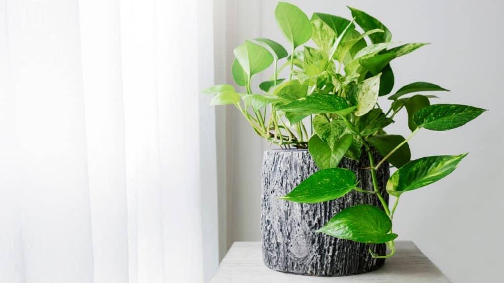 Golden Pothos: Air Purifier and Odor Eliminator Bedroom Plants