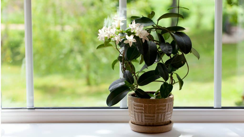 Jasmine: Best Relaxing Bedroom Plants