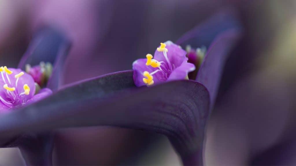 Purple-Heart Plant: Ornamental Flower