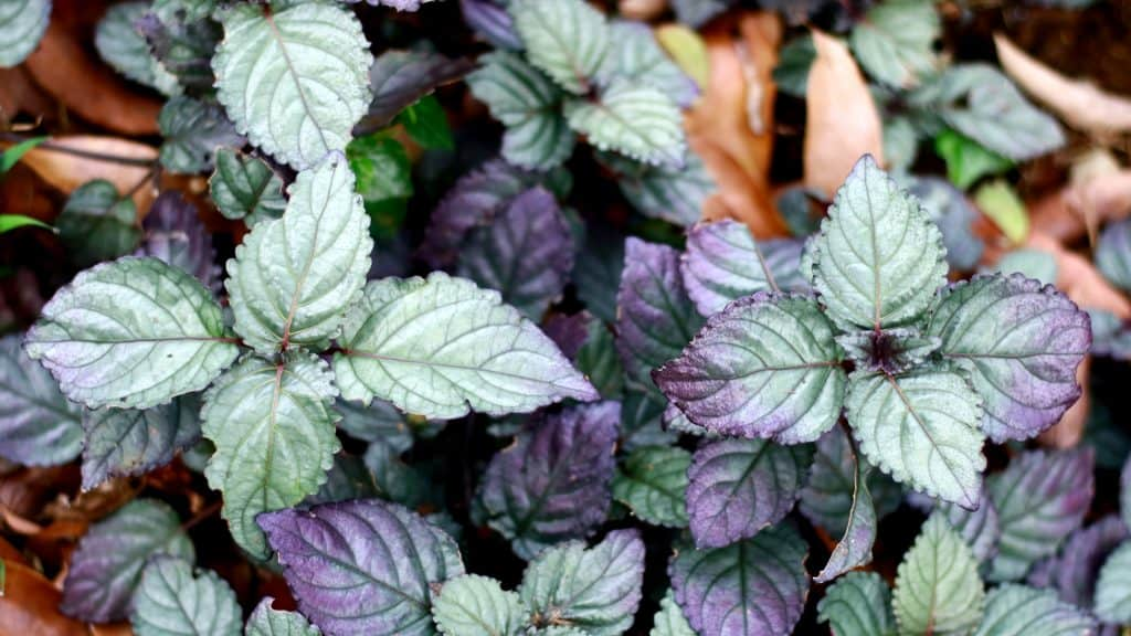 Purple Waffle Plant: Toxins Removing Bedroom Plants