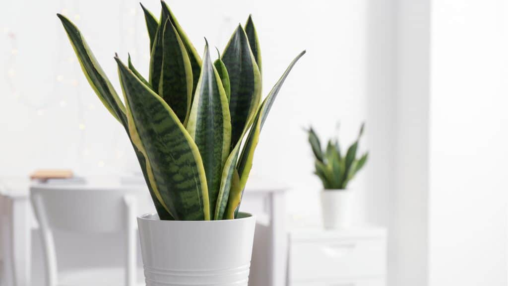 Snake Plant: Air Purifier and Pain Relieving Bedroom Plants