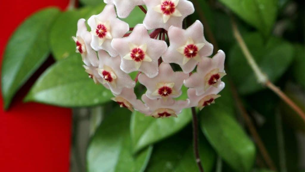 Wax Plant: Mood Booster Bedroom Plants