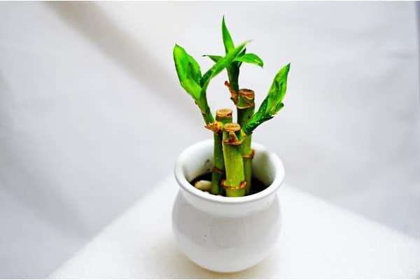 small lucky bamboo