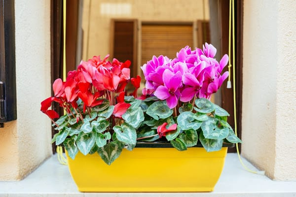 cyclamens in a yellow planter