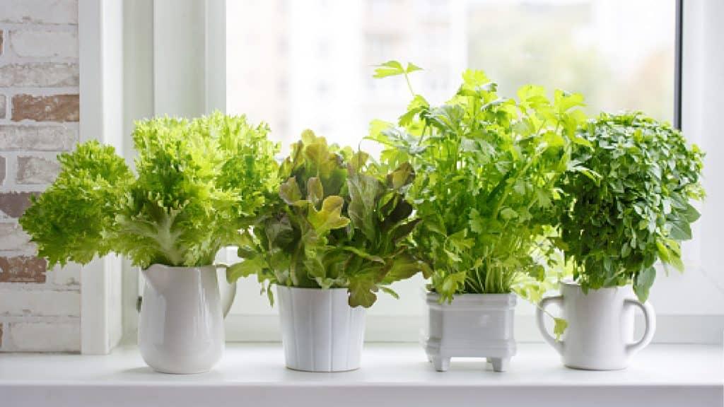 kitchen plants on the windowsill