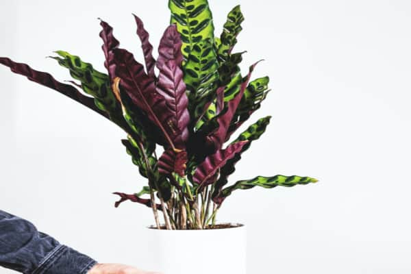 a person is giving calathea medallion plant as a gift