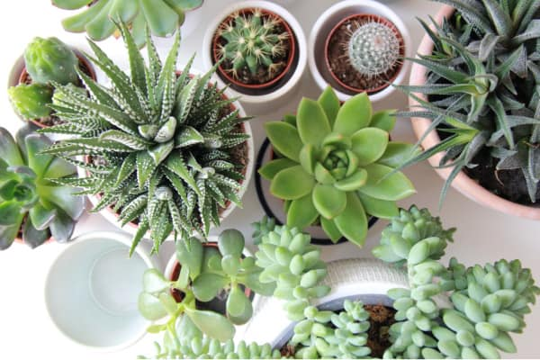 tiny succulent plants to gift