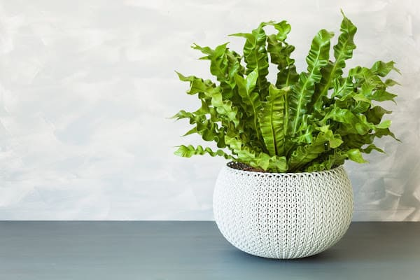 birds nest fern in a macrame pot