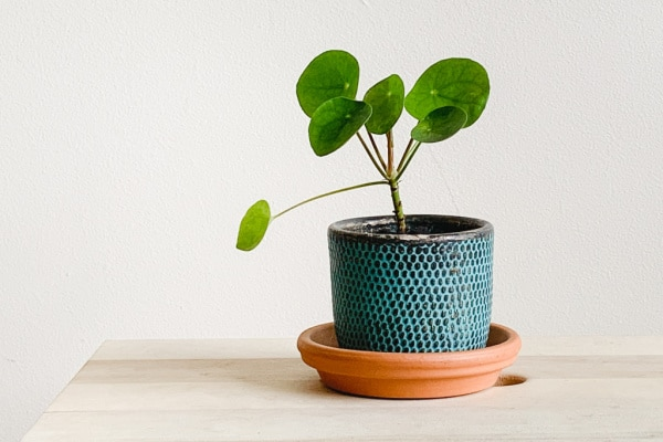 chinese money plant on a table