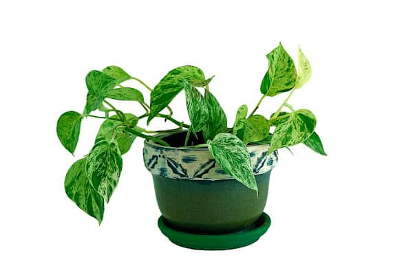 heartleaf philodendron in a green planter