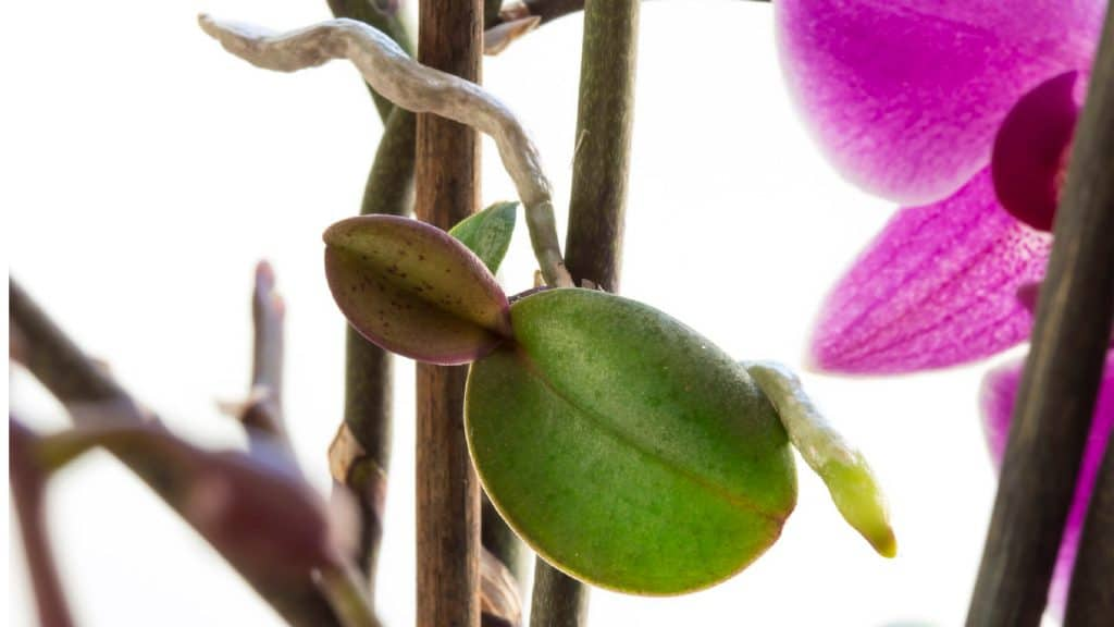 A keiki on an Orchid