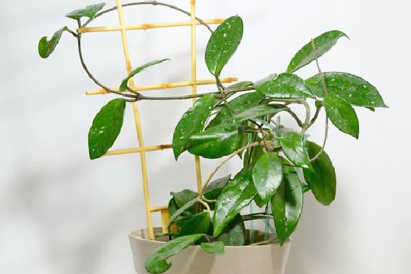 hoya plant on a trellis