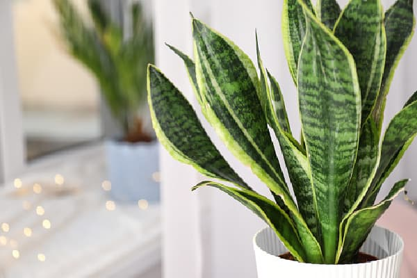 close up of a snake plant
