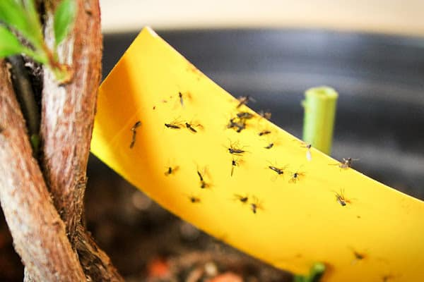 using a sticky trap to attract fungus gnats on house plants