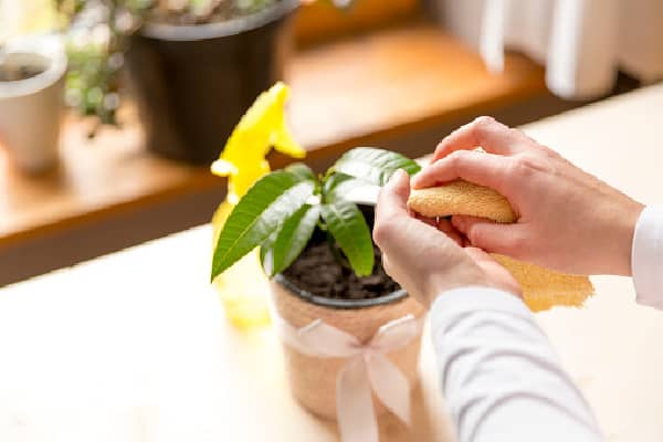 cleaning houseplant leaves with a damp cloth