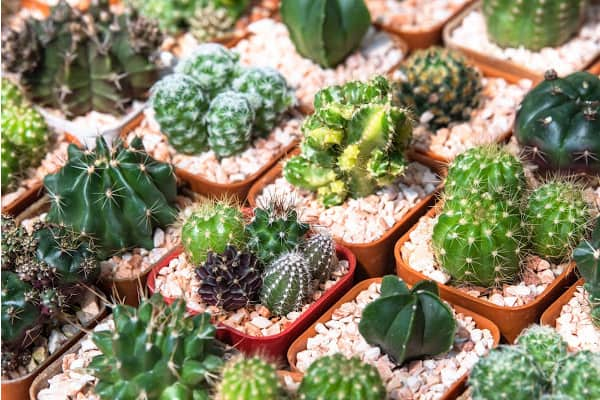 cactus plants with humidity trays for humidity