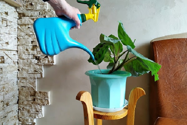 watering indoor plants with a watering can