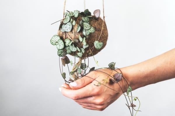 heart-shaped succulent vines