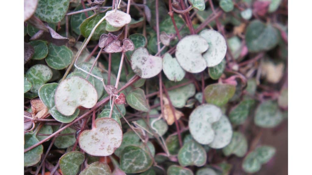 a close up of the string of hearts plant