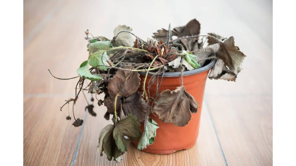 wilted plant
