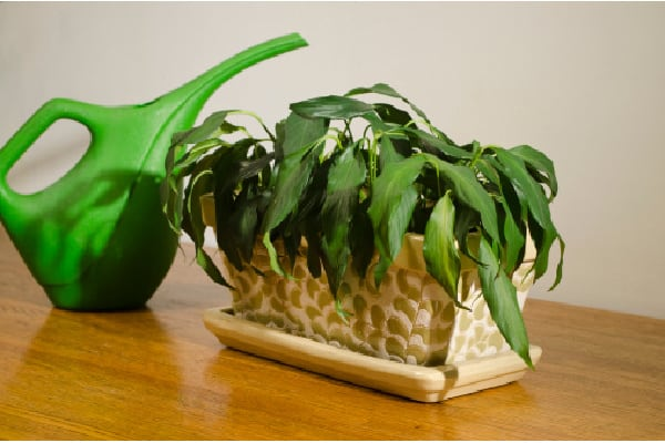 rehydrate a wilted houseplant
