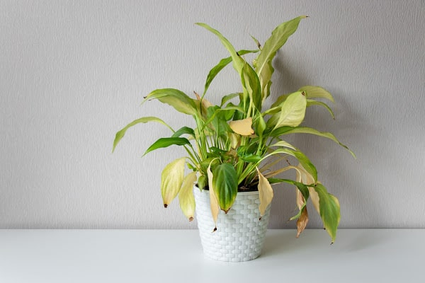 a plant leaves that is wilting