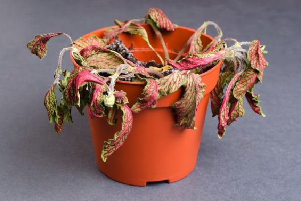 a plant with wilting leaves