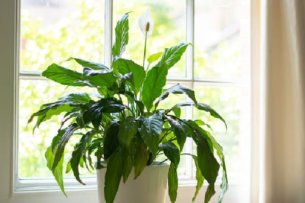 peace lily receiving indirect sunlight