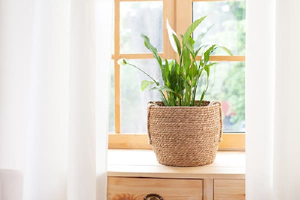 peace lily plant by the window sill