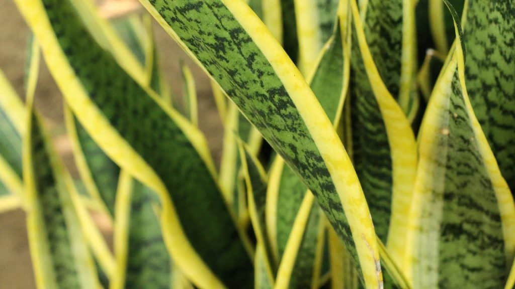 a close up view of snake plants