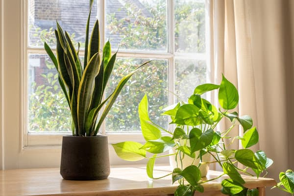 a snake plant next to a window sill with no brown spots