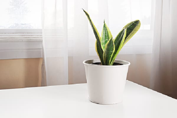 a healthy snake plant on a table