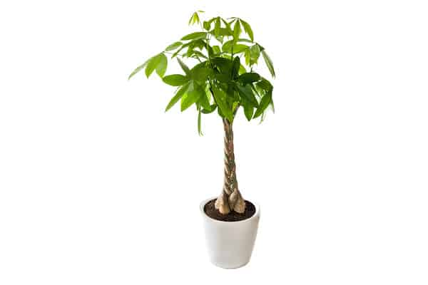 achieve a healthy money plant by following steps on how do you revive a dying money plant