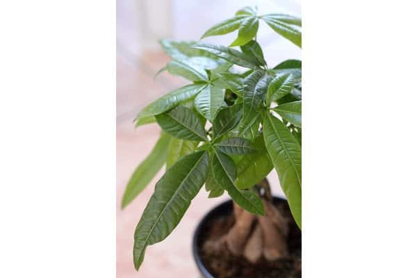 a healthy braided money plant