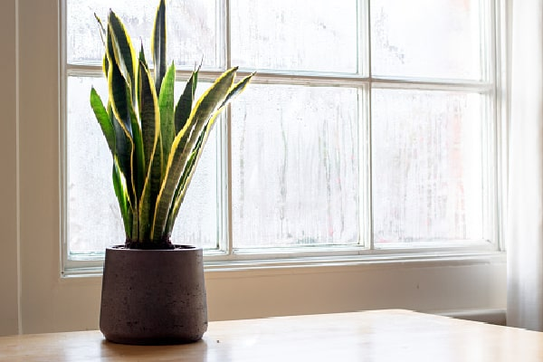 a healthy snake plant near a window sill with no wet brown spots
