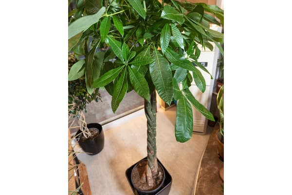 a tall and healthy braided money plant