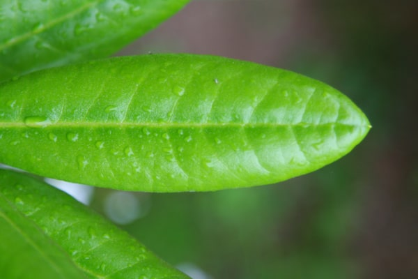 the leaf has fresh water drops that have not formed water spots