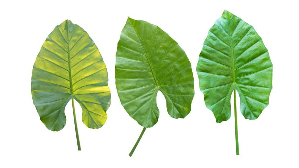 alocasia leaves yellowing because of a possibility of overwatering
