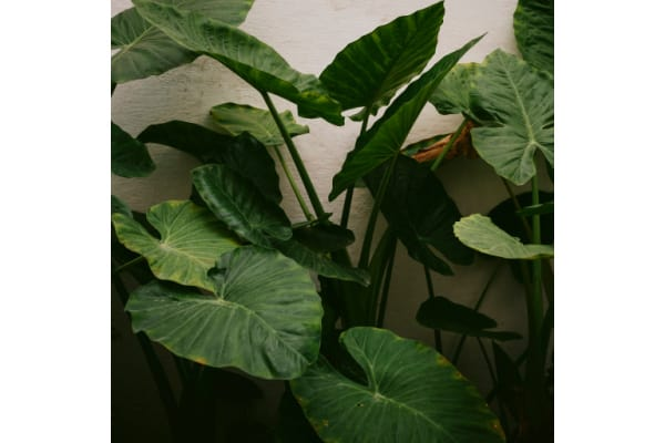 large alocasia plant leaves due to following advice on why are my alocasia leaves curling.