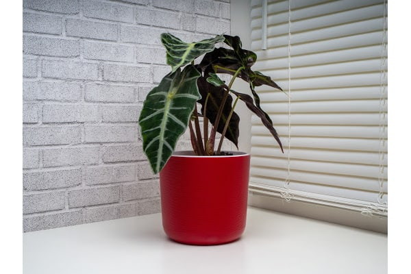 a healthy alocasia plant due to providing proper care and following advice in the why are my alocasia leaves curling article